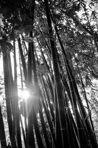 Bambu Hitam 2